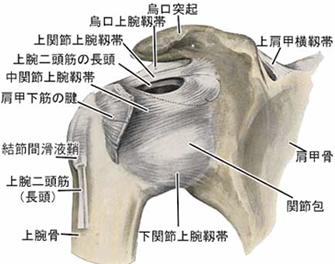 肩周囲の靭帯など