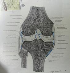 正常膝関節解剖図
